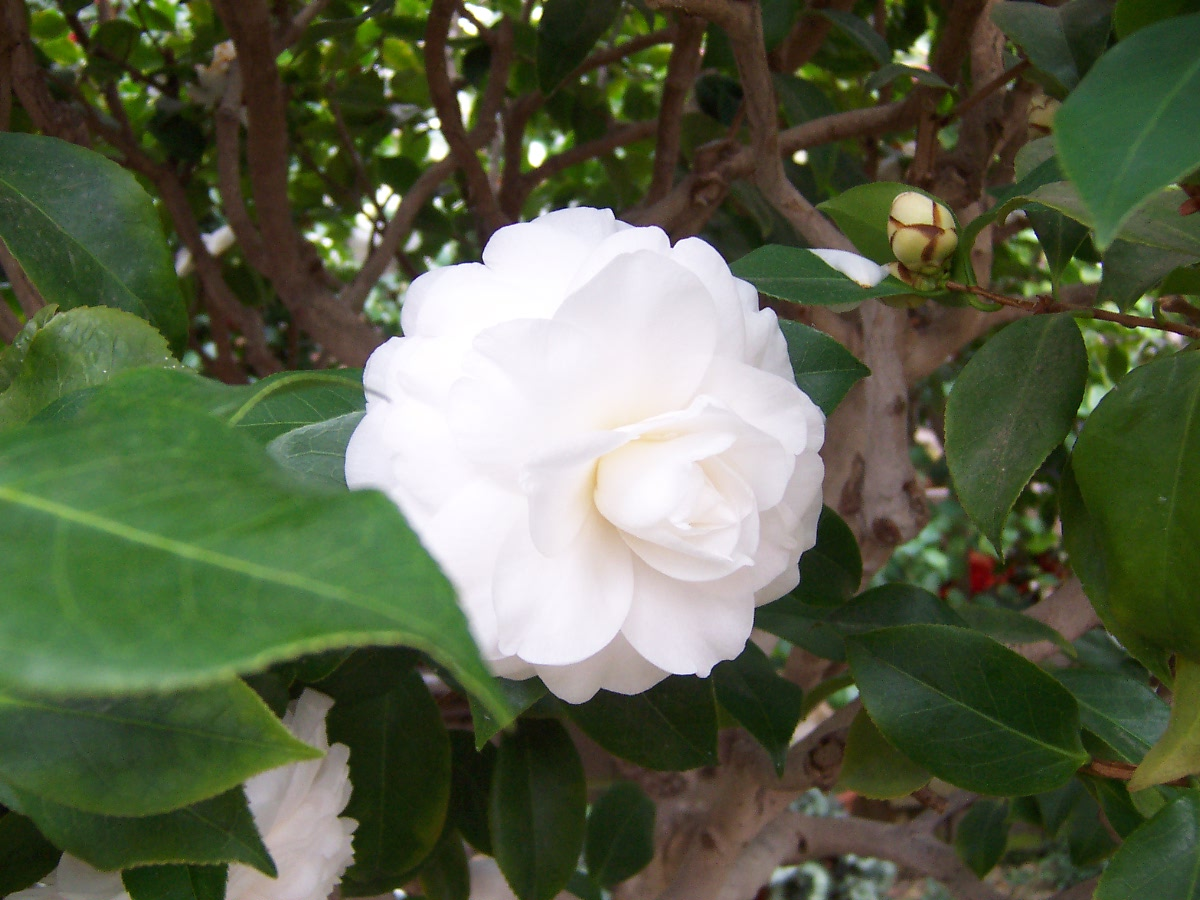 Bonsai camellia house umass amherst durfee conservatory for Camellia homes