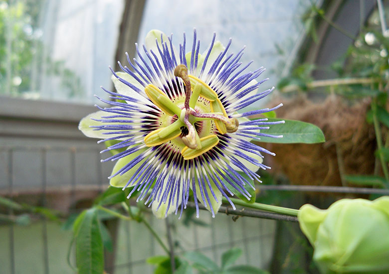 Passion Flower at Durfee Conservatory