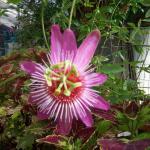 Passiflora caerulea 'Anastasia'