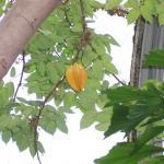 Averrhoa carambola - Starfruit Tree