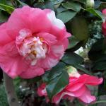 Camellia japonica  'Mon Jusu'