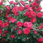 Camellia japonica 'Jarvis Red' in full bloom