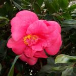 Camellia japonica  'Jarvis Red'