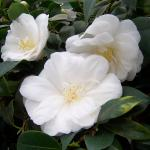 Camellia japonica 'Kate Swatter'