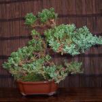 Cryptomeria japonica  -  Japanese Cedar Bonsai