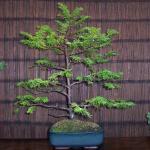 Taxus baccata  -  English Yew Bonsai