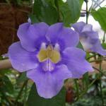 Thunbergia grandiflora - Blue Sky Flower