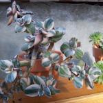 Crassula ovata variegata - Variegated Jade Plant