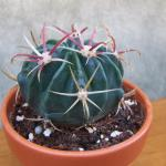 Ferocactus latispnus - Crows Claw Cactus