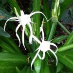 Hymenocallis littoralis - Spider Lily