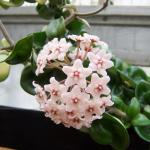 Hoya carnosa - Wax Flower